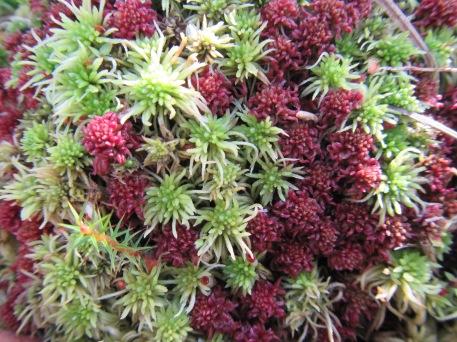 S. capillofolium with S. fimbriatum