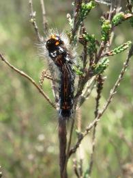 Yellow Tailed Moth Caterpillar