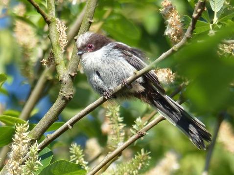 Juvenile Long Tailed Tit