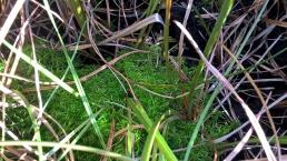 S. fimbriatum