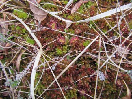 S. magellanicum & Drosera rotundifolia Borth