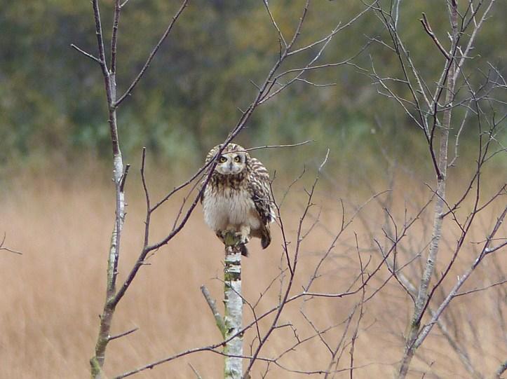 Short Eared Owl LWMNR