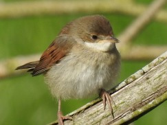 Young Whitethroat