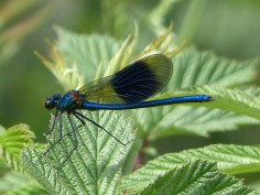 Banded Demoiselle Male