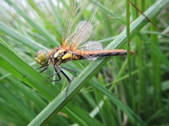 Black Darter Female