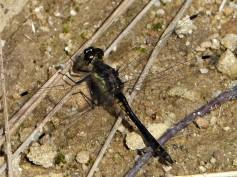 Black Darter