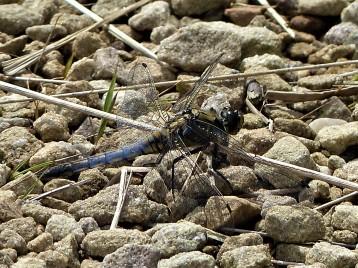 Black Tailed Skimmer