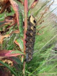 Elephant Hawk Moth Caterpillar